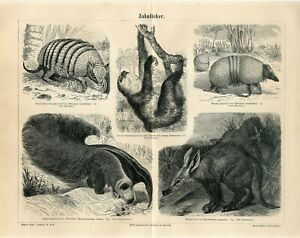 1887 GREAT ANTEATER SLOTH ARMADILLO AARDVARK Antique Engraving Print