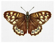 Speckled Wood Butterfly Watercolour Painting A4 Signed Limited Edition Print
