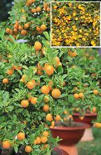 Kumquat-Baum Zwergorangen kleinwüchsige Obstbäume für drinnen exotisch besonders