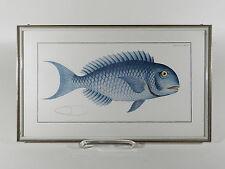 RAUBFISCH Coryphana Corulea ° Offsetdruck ° Refloglas ° Kunsthandel Weber Mainz