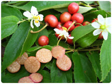 100 Seeds Jamaican Cherry Muntingia Calabura Rare Tropical Sweet Fruit