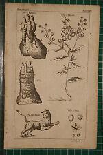 1764 ANTIQUE PRINT ~ TIGER ~ BOTANY TILIA THLASPI PENNYCRESS THYMUS