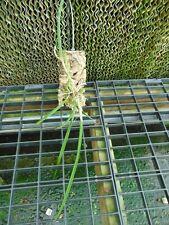Brassavola cucullata X Laelia purpurata Mounted cork bark Rare Primary Hybrid