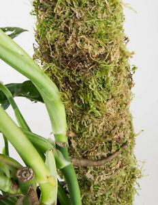 Moss pole the real McCoy 40 cm