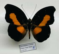 Nymphalidae Catonephele acontius male a1 mounted perou