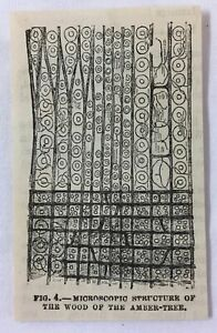 small 1882 magazine engraving ~ MICROSCOPIC STRUCTURE OF WOOD OF AMBER-TREE