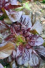 RED SALAD BOWL LEAF LETTUCE Lactuca Sativa 100 Seeds