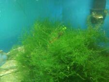 Java Moss - Live Aquarium Plants for Freshwater Fish Tank Decorations