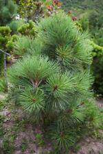 Jeffrey Pine (Pinus jeffreyi) 20 seeds