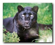 Black Leopard (Panther) Animal Wildlife Wall Decor Art Print Poster (16x20)