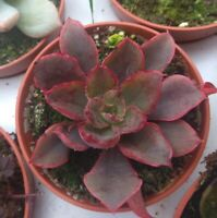 ECHEVERIA RED PRINCE planta suculenta con raiz