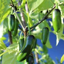 Seeds for Jalapeno M Hot Pepper | Capsicum annuum | Amkha Seed