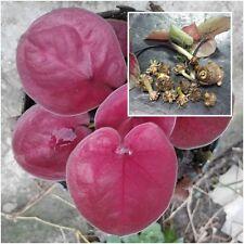 Caladium 1 Tuber, Queen of the Leafy Plants, ''Narathivas'' Tropical From Thai
