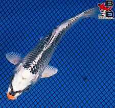 "4"" Clown Nose Kujaku Live Koi Fish Pond Garden Bkd"