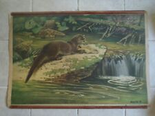 Original vintage zoological pull down school chart of Otter