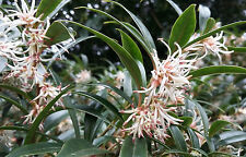 2x Pink Christmas Box, fragrant flowering shrub Sarcococca hookeriana, evergreen