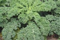 Sibirische Zwerg Grünkohl - Siberian Dwarf Kale - 50+ Samen - Saatgut - Seeds