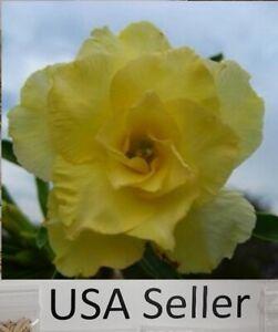 Adenium Obesum Happy Desert Rose 10 seeds