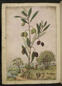 Olive Olea Europaea Plant Botanical Vintage Print 7x5 Inch Reprint
