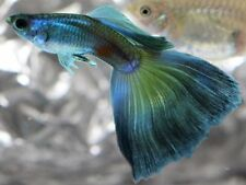 x10 MALES / x10 FEMALES - BLUE DELTA PAIR - FISH LIVE TROPICAL - FREE SHIPPING