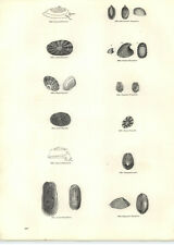 1854 Engravings Fissurella Emarginula