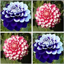 USA-Seller Perennial Flowers Vary Colors Dahlias Seeds 100pcs
