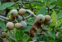 jagua Genipa americana live plant fruit tree 2'' to 6''