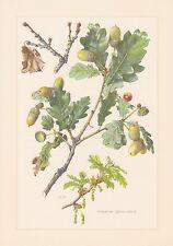 Mango roble-Quercus robur impresión en color de 1960 verano roble roble alemana