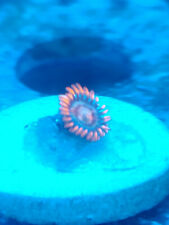 New listing Live Merry Christmas Zoa Zoanthid Coral Frag, 1 Polyp
