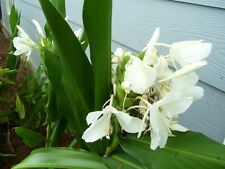 1 Rhizome White Butterfly Ginger Lily  Easy To Grow Multiply Fast Fragrant