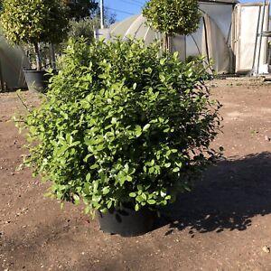 Pittosporum tenuifolium Golf Ball 30-40cm