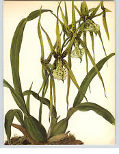 1922 Color Book Plate Framable Orchid Images Brassia verrucosa Green  Black dots