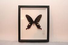 Papilio Dasarada. Wunderschöner Schmetterling in Schaukasten mit UV-Schutzglas