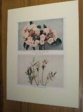 Vintage 1921 Botanical Wildflower Matted Art Print- Mountain Laurel; Pale Laurel
