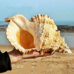 Natural Large Conch Shells Coral Sea Snail Fish Tank Gift Ornament Home Gifts