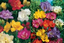 FREESIA MIXED 15 BULBS SWEET FRAGRANCE SUMMER FLOWERING FREE P&P