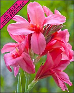 Pink Canna Lily 1 x Bulb Tuber Rhizome UK SELLER