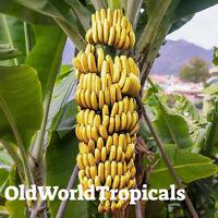 """Banana Fruit Tree Musa """"Gran Nain"""" LIVE Tropical Plant"""