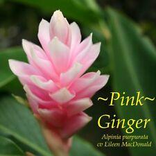 ~PINK OSTRICH PLUME GINGER~ Alpinia purpurata HAWAII Live Sm Pot'd Starter Plant