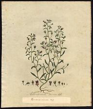 Antique Print-DWARF SNAPDRAGON-CHAENORHINUM MINUS-146-Flora Batava-Sepp-1800
