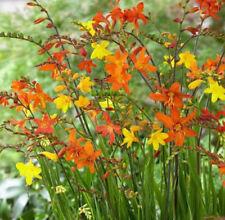 Crocosmia Summer Temperate Bulbs, Corms, Roots & Rhizomes