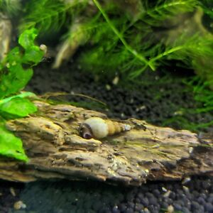 10+ Malaysian Trumpet Snails Live Freshwater Aquarium - Feeders, Algae Control