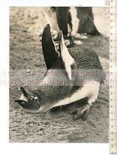Original Pressefoto: Zoo de Londres Cape Penguin Bubble & Squeak-Hello I 'm Ruppert