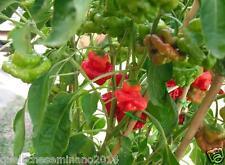 20 semi di peperoncino PICCANTE  MUSHROOM RED -FUNGO ROSSO seme selezionato