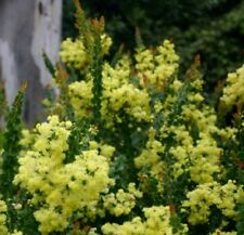 LITTLE NUGGET Acacia dwarf native yellow flowers wattle plant 140mm pot