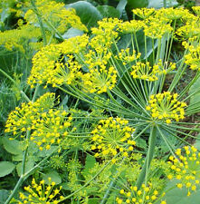 30 Rare Yellow Dill Seeds Anethum Graveolens Chinese Herb Organic