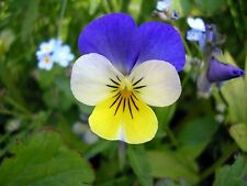 Viola tricolor Helen Mount   Johnny Jump Up   Heartsease   200_Seeds