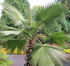 25 Samen K. Washingtonpalme, Priesterpalme (Washingtonia filifera), winterhart