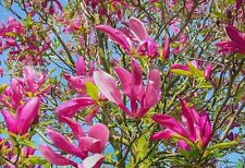 Magnolia Susan Plant Tree 2ft Tall in a 3 Litre Pot Pink Tulip Shaped Flowers