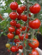 30 graines de tomate cerise rouge  bio de  mon jardin en Bretagne permaculture 6